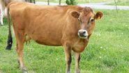 Jersey Cattle (V2)