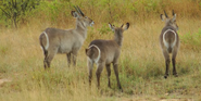 KNP Waterbuck