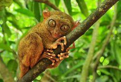 Philippine-tarsier.jpg