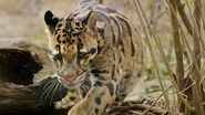 Pittsburgh Zoo Clouded Leopard
