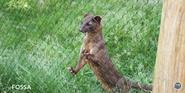 Pittsburgh Zoo Fossa