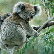 Queensland Koala (V2)