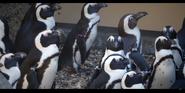San Diego Zoo Penguins