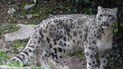 Snow Leopard (V2).jpg