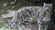 Snow Leopard (V2)