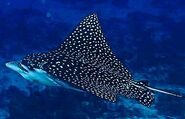 Spotted-eagle-ray-Photos