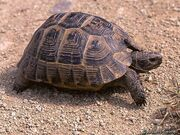 Tortoise, Common.jpeg