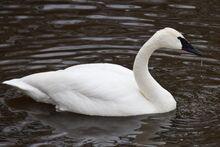 Trumpeter swan2.jpg