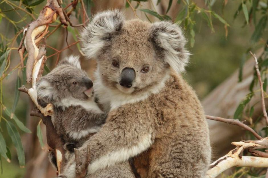 Victorian Koala