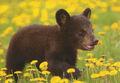 Amazing animal pictures Baby-Bear bear facts bear attacks bear species bears of USA Bears Australia bears Canada bears France bears Europe bears beautiful amazing animal attacks