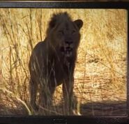 BTJG Masai Lion