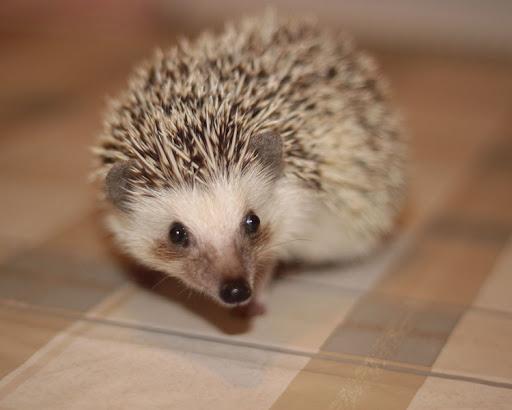 Four-Toed Hedgehog