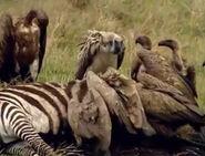 HugoSafari - Vulture08