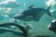 Iridescent shark