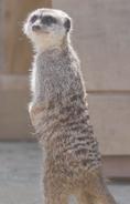 John Ball Zoo Meerkat