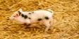 Little Miss Dolittle Pig