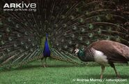 Male-Indian-peafowl-displaying-to-female