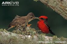 Male-vermilion-flycatcher-giving-an-insect-to-female-for-young-in-nest.jpg