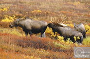 Male and female western moose