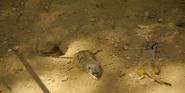 Nashville Zoo Meerkats