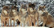 Red wolf pack