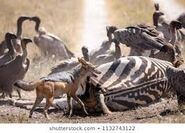 The Vultures The Zebras and the Gazelles