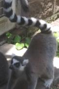 Toledo Zoo Lemur