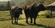 WBAZ Buffalos