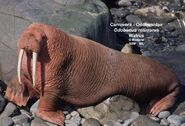 Walrus (V2)
