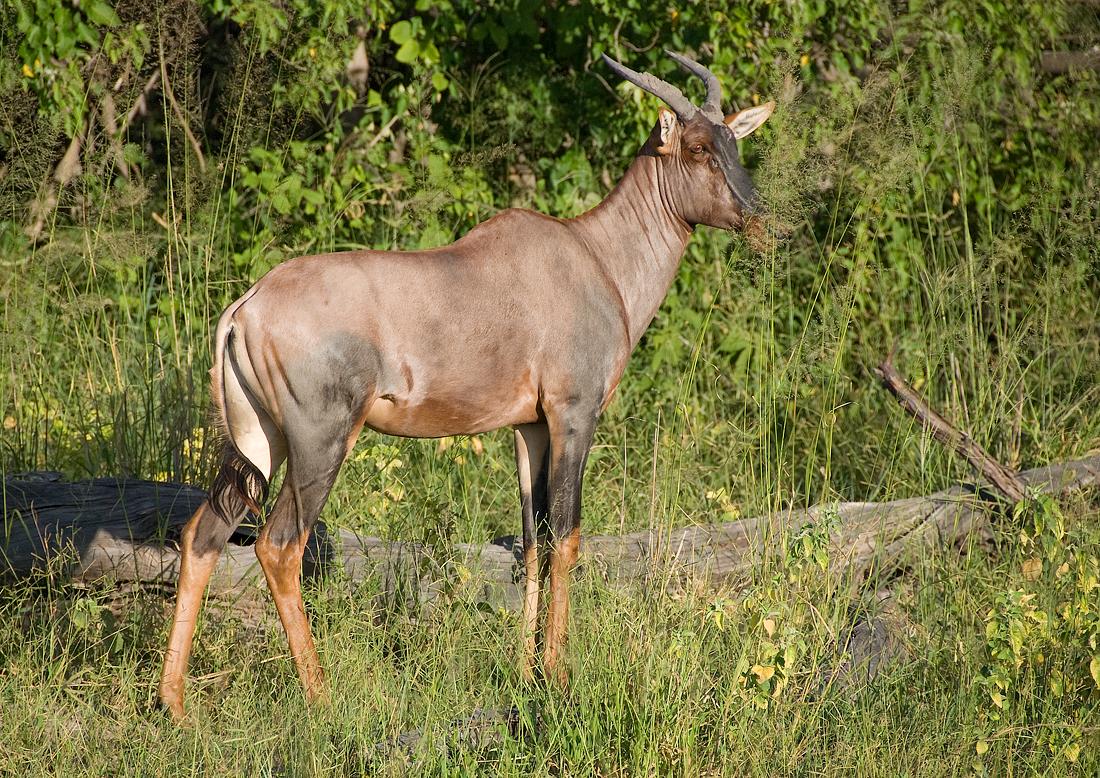 Common Tsessebe