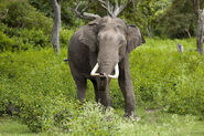 AsianElephant