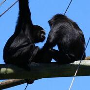 Black-handed gibbons