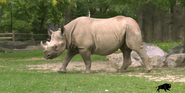 Brookfield Zoo Rhino
