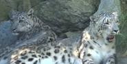 Cincinnati Zoo Snow Leopards