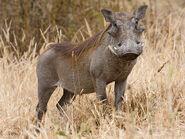 Common warthog or warthog