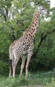 Giraffa camelopardalis giraffa 2007-01-02 3.jpg
