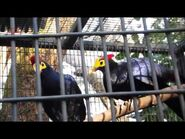 Male and female Ross' turacos