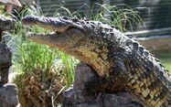 Nile Crocodile in Gatorland