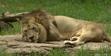 North Carolina Zoo Lion