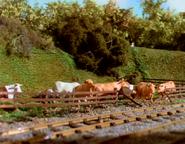 TTTE Cattle