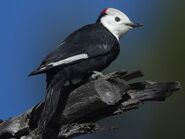 White-headed woodpecker (Leuconotopicus albolarvatus)