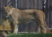 Zoo Knoxville Lioness