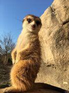 Cincy Zoo Meerkat (V2)