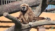 Columbus Zoo Lar Gibbon
