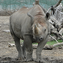 Eastern Black Rhinoceros.png