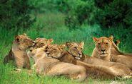 Katanga lion pride