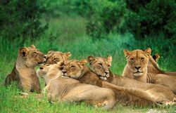 Katanga lion pride.jpg