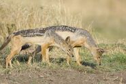 Male and female black-backed jackals