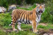 Tiger (V2).jpg