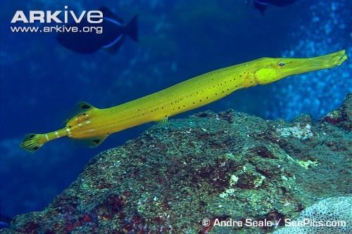 Trumpetfish